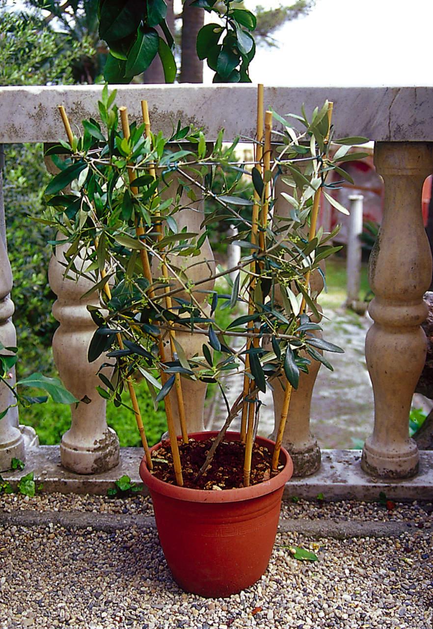 Come Potare A Palla olivo in vaso come coltivarlo
