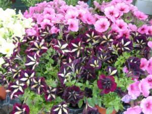 surfinie con fiori in vari colori
