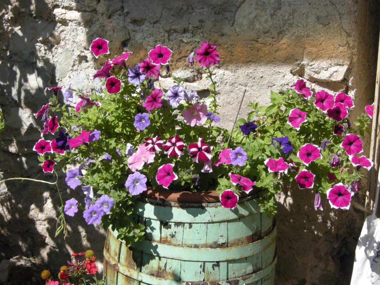 Fiori Perenni Da Balcone petunie e surfinie, annuali da balcone sempre in fiore