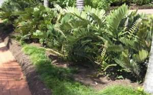 zamia piante in giardino