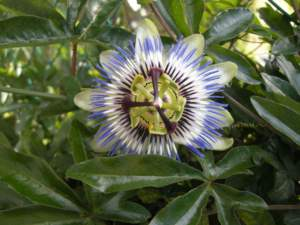 passiflora_coerulea_f4