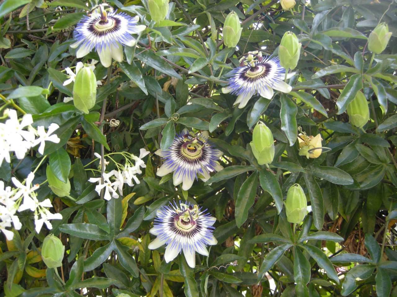 Rampicante Fiori Bianchi.Passiflora Una Pianta Rampicante Spettacolare Passione In Verde