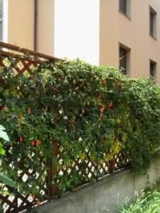 passiflora_coerulea_fr
