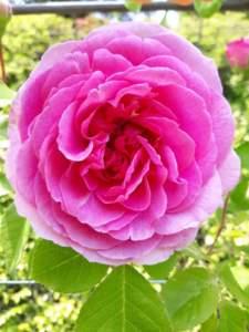 rosa di villa carlotta