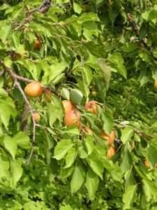 orto e frutteto in giugno