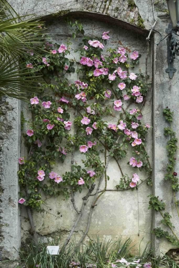 le rose rampicanti a villa carlotta