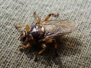 mosca-Hippobosca_equina