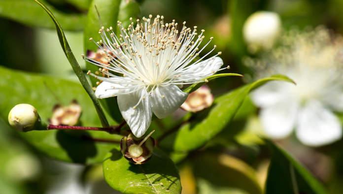 fiori di mirto