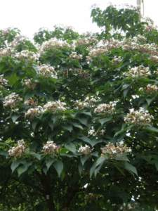 clerodendron_trichotomum_f4