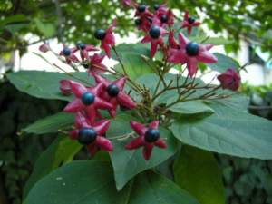 clerodendron_trichotomum_fr1