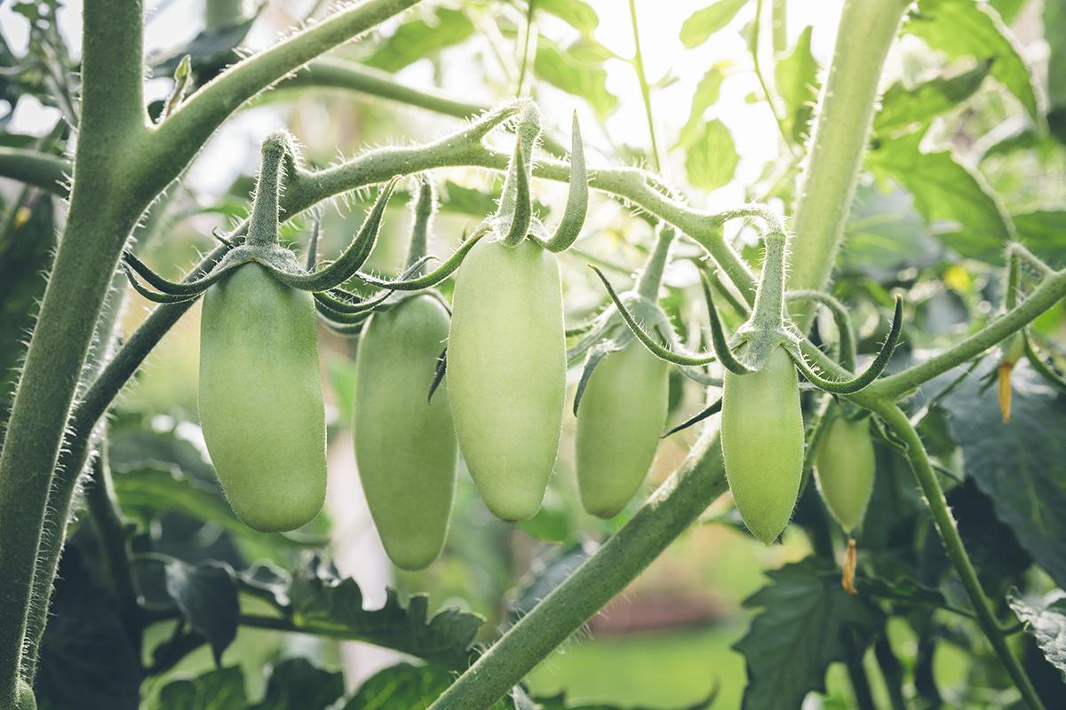Come Coltivare Pomodori Sul Balcone pomodori san marzano sul balcone di casa - passione in verde