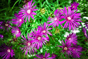 fioriere in giardino di Delosperma cooperii