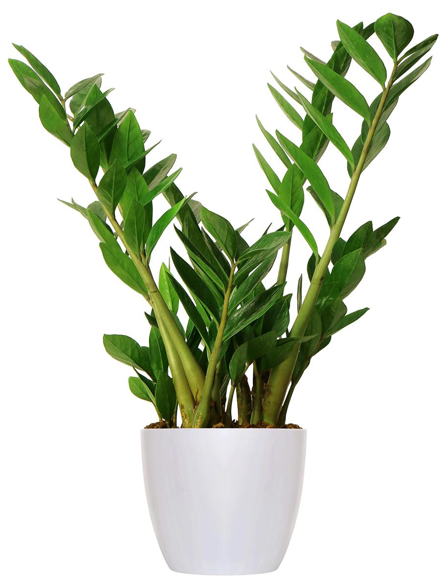 Piante Verdi Da Appartamento Zamioculcas.La Zamioculcas In Vaso Si Espande Passione In Verde