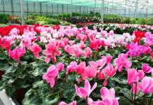 coltivazione del ciclamino in vivaio