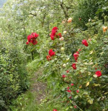 le rose nel giardino in settembre
