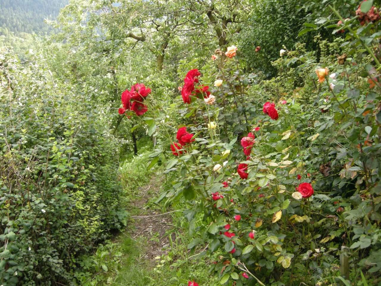 Tutori Per Rose Rampicanti giardino in settembre: i lavori da fare (parte 1) - passione