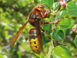 Il calabrone è l'unico vespide di cui avere veramente paura.