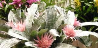 aechmea pianta con fiori