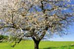 colaticci gommosi su albero di ciliegio