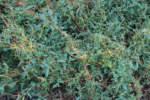 cuscuta su erba