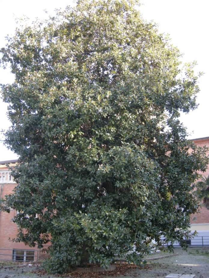 cacciatori di piante magnolia grandiflora
