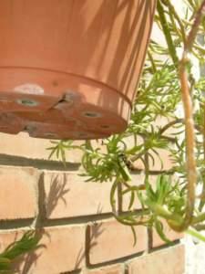 Ape solitaria (Megachile) mentre trasporta la foglia in cui deporrà l'uovo.