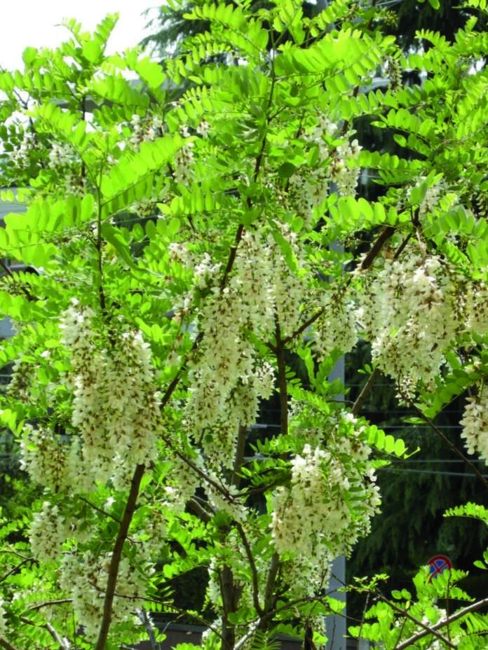 piante straniere robinia