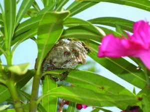 Vespe poliste nel nido a forma di ombrello.