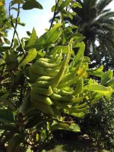 collezione agrumi a villa della pergola