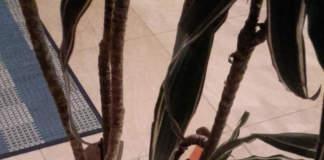 dracena con foglie appassite