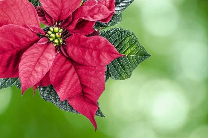 Piante di Natale tossiche