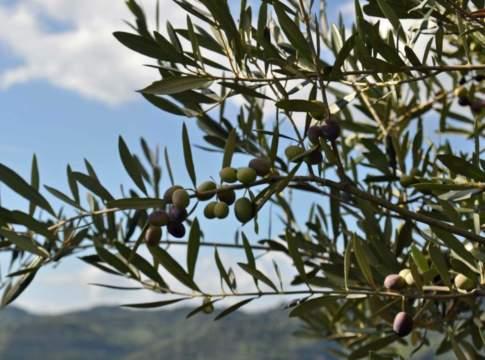tartufo e olivo