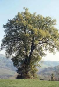 Rovere (quercia) calendario celtico