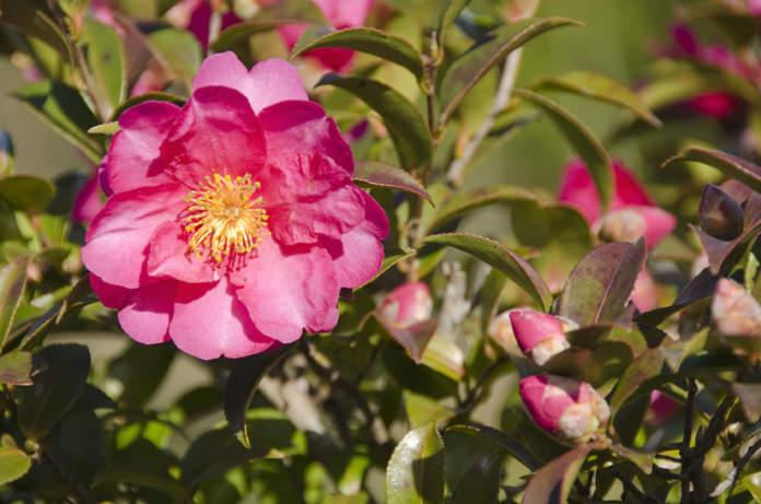 travasare camellia