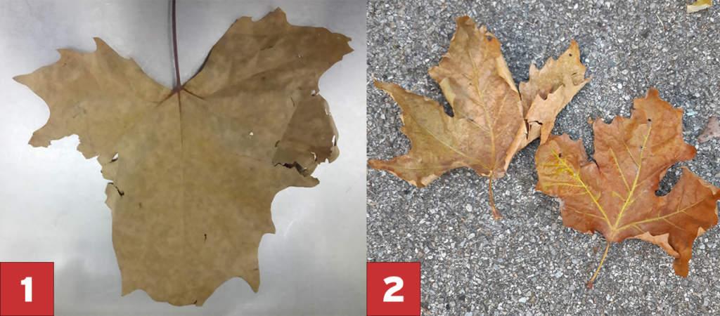 foglie di platano