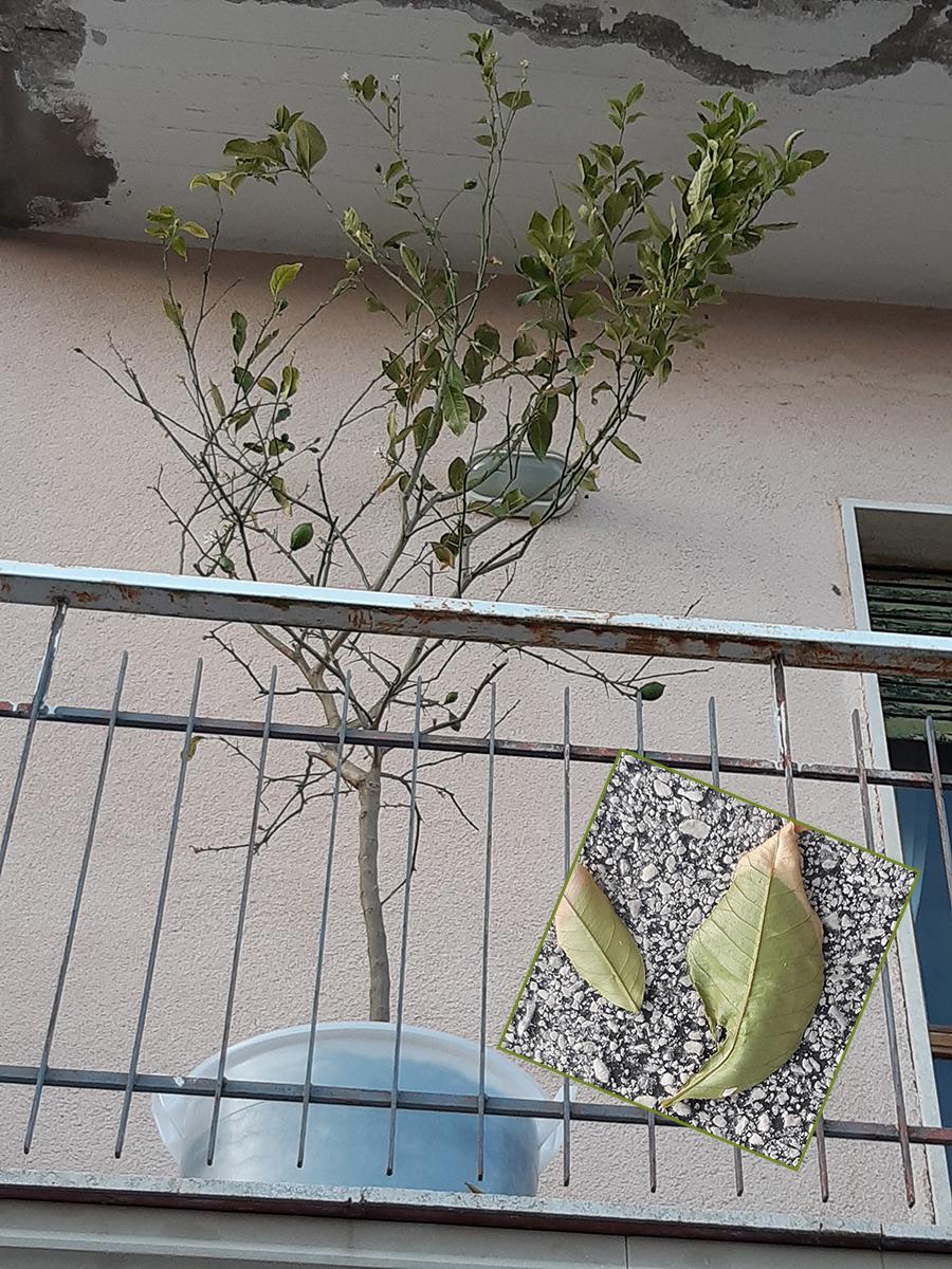 Come Curare Le Piante come curare la pianta di limone - passione in verde