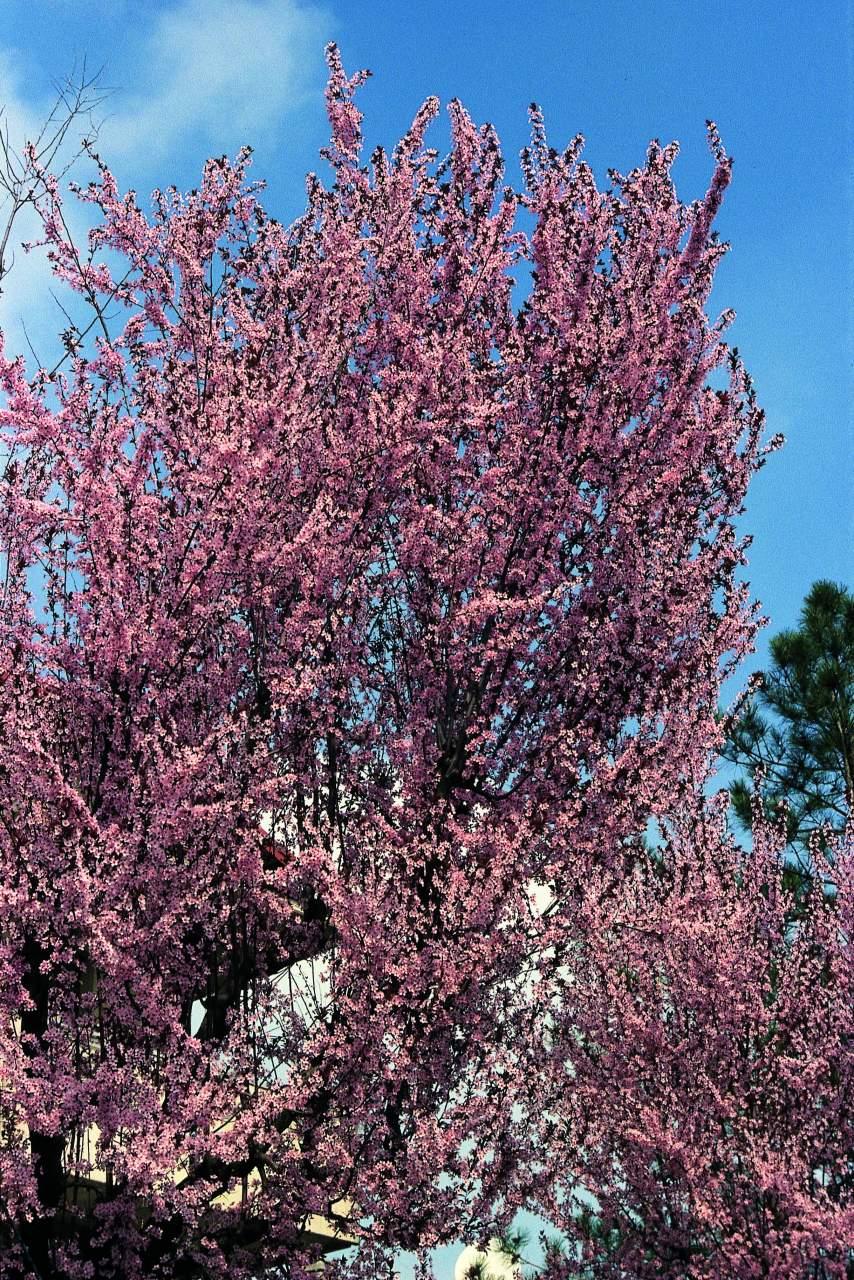 Albero Con Fiori Bianchi mirabolano o rusticano, fiori di primavera - passione in verde