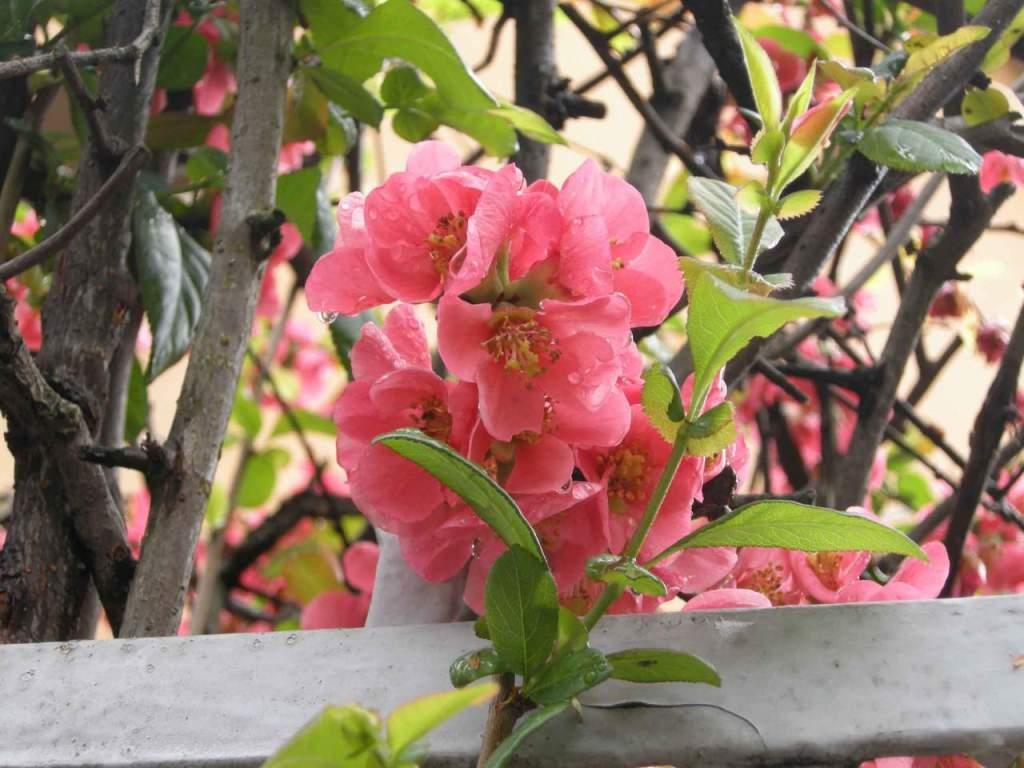 Piante Che Fioriscono Tutta Estate cotogno giapponese, fiori rossi in marzo - passione in verde