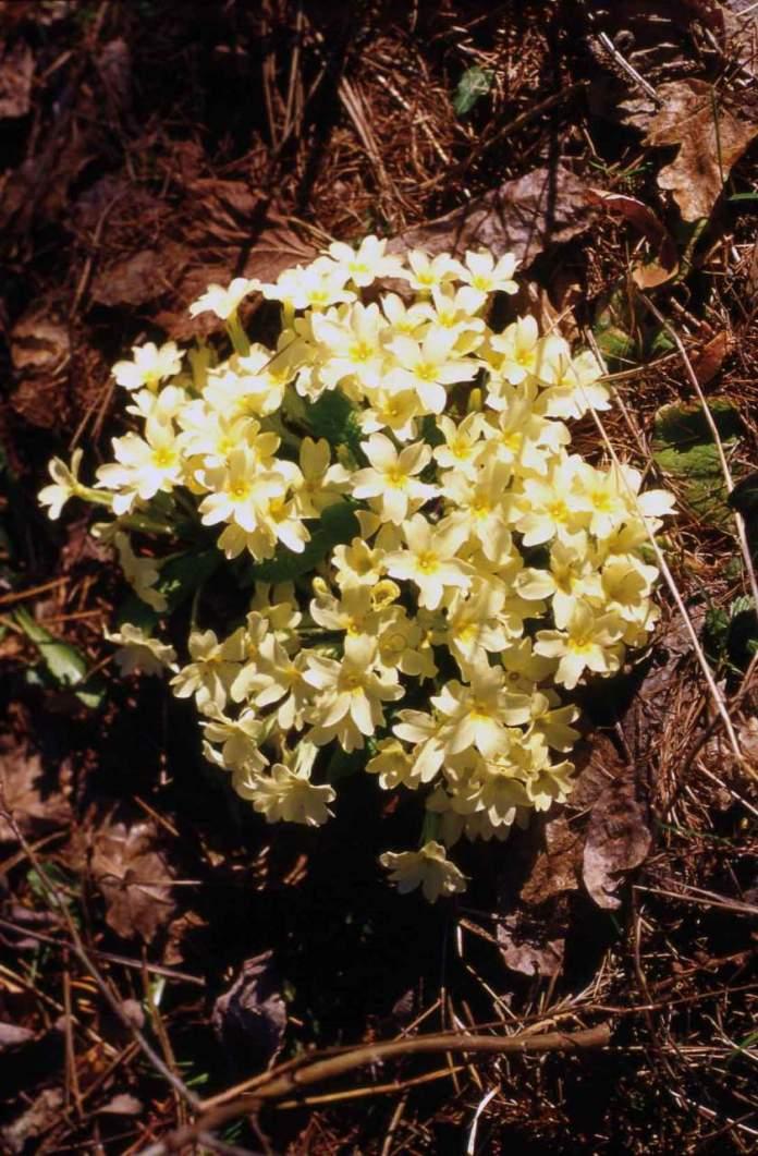 primi fiori di stagione, primula