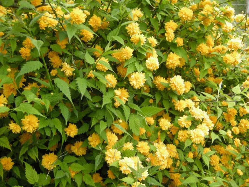 Piante Siepe Crescita Rapida kerria, per una siepe fiorita in giallo - passione in verde