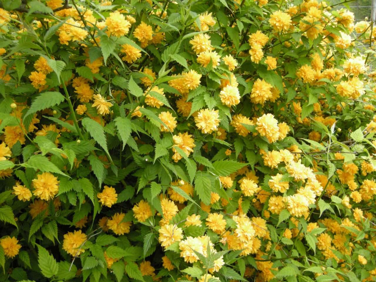 Arbusto A Fiori Gialli kerria, per una siepe fiorita in giallo - passione in verde