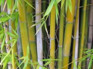 arredo outdoor bambù bambusa