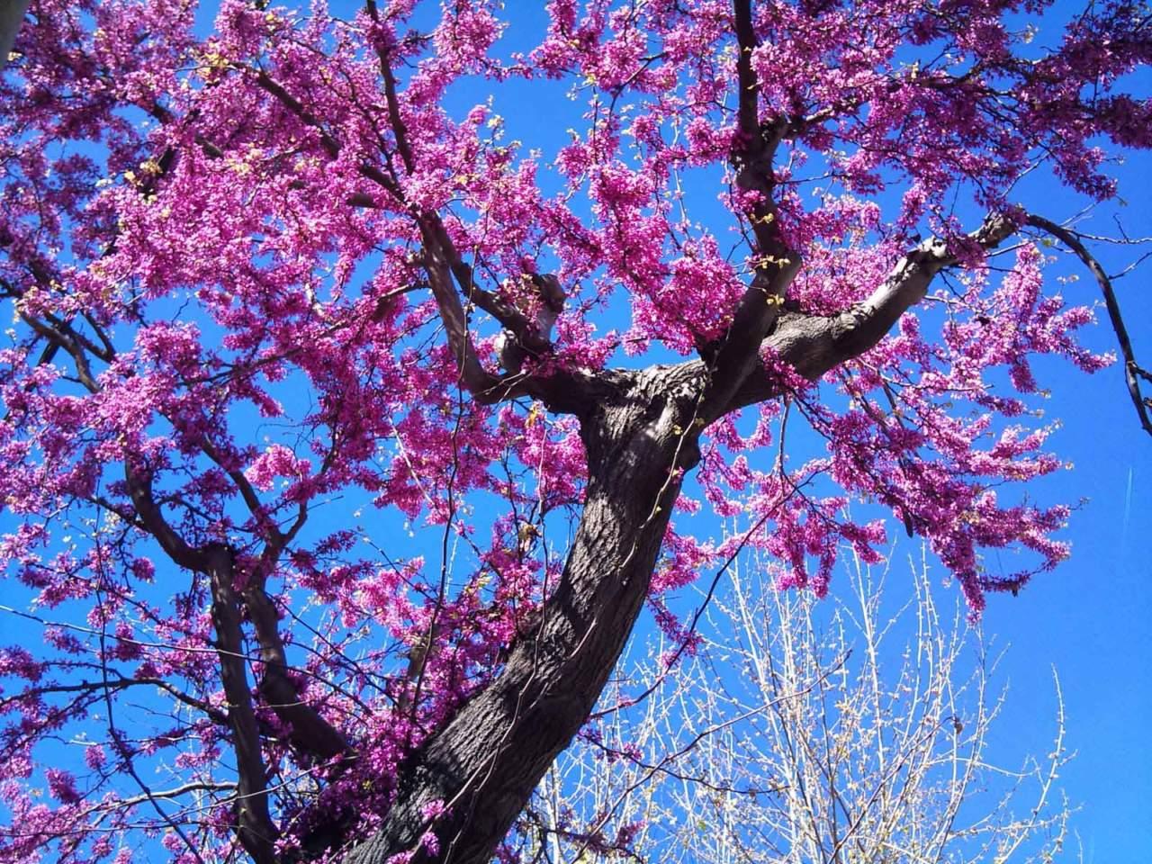 Piccoli Alberi Da Giardino albero di giuda, fiori per piccoli giardini - passione in verde