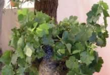 alberi da frutto vaso
