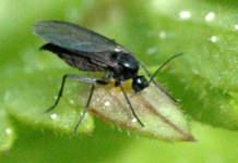 Il moscerino nero del terriccio
