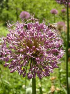 allevare api fiore allium