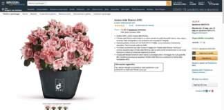azalea airc amazon