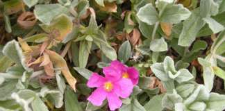 cisto incanus rosa
