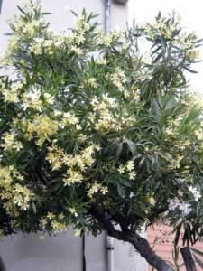 oleandro giallo alberetto