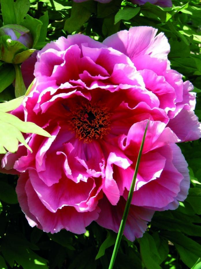 fiori profumati peonia